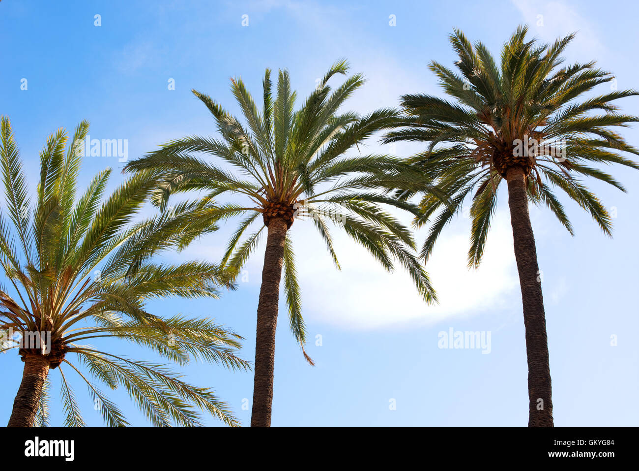 Corone e fronde di tre alberi di palma tropicali contro un soleggiato blue sky concettuale del viaggio estivo Immagini Stock