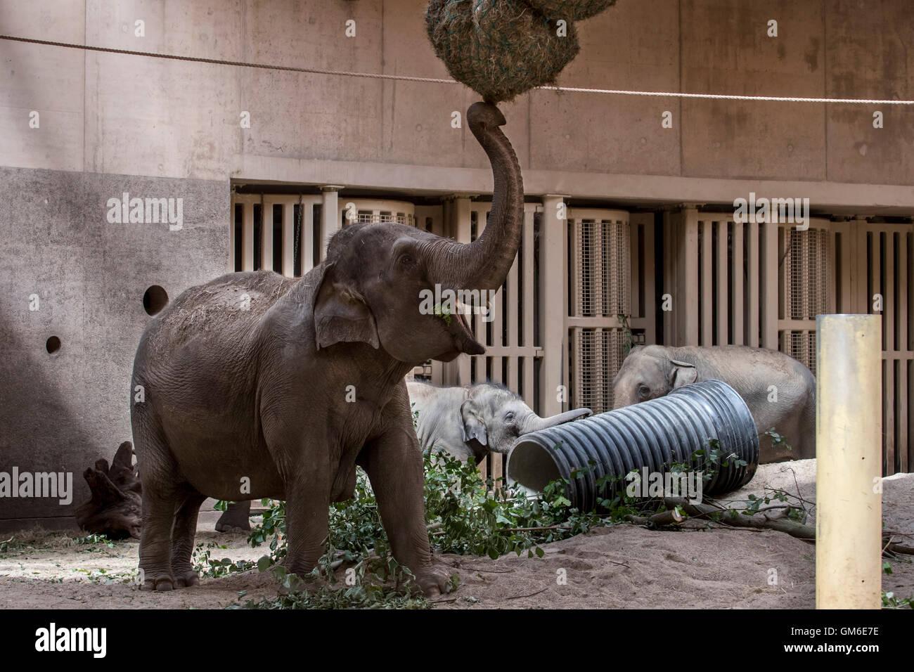 Elefante asiatico / elefanti asiatici (Elephas maximus) mangia fieno nel contenitore interno in Lo Zoo Planckendael, Immagini Stock