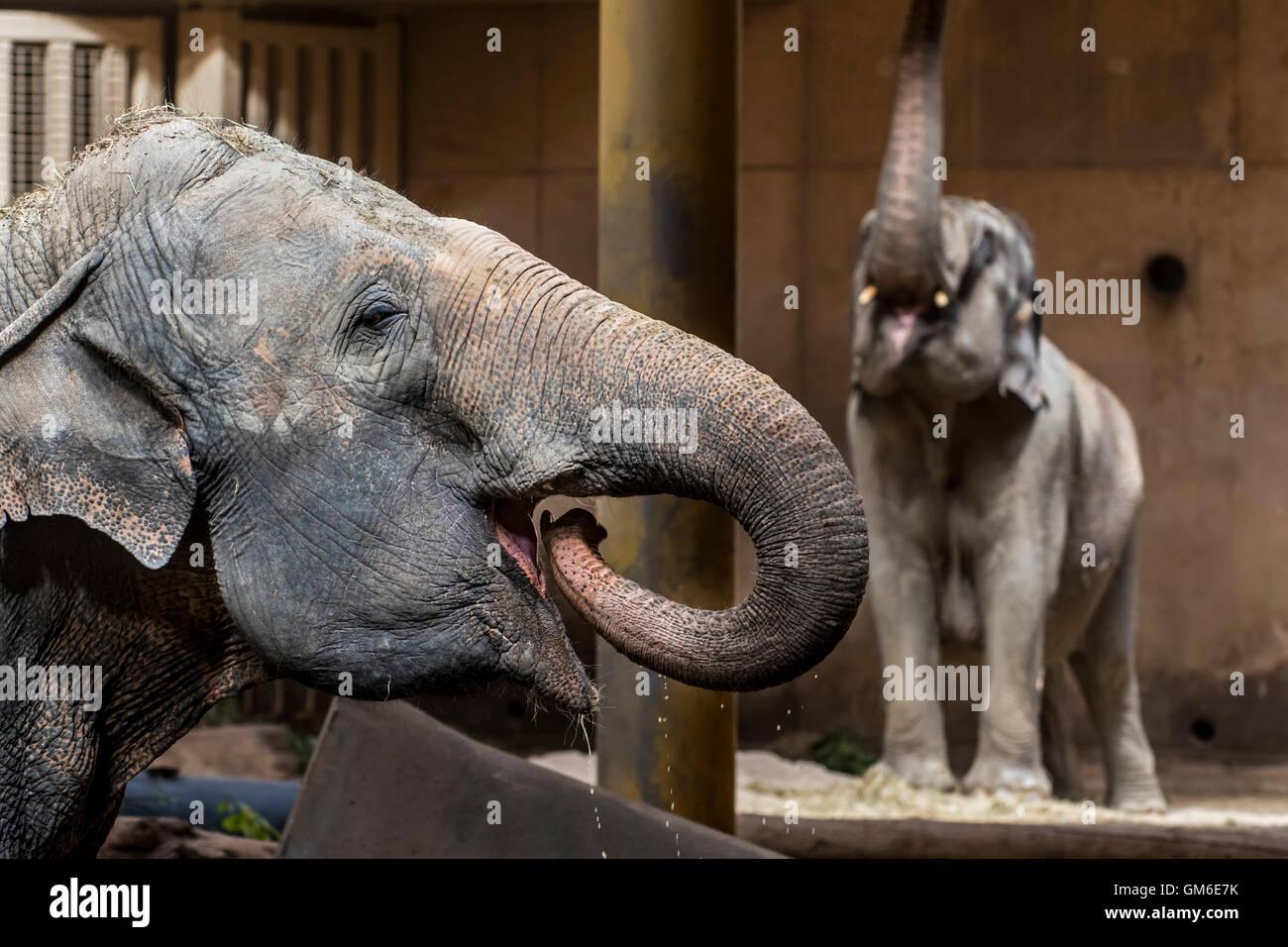 Elefante asiatico / elefanti asiatici (Elephas maximus) di bere e di alimentazione nel contenitore interno in Lo Immagini Stock