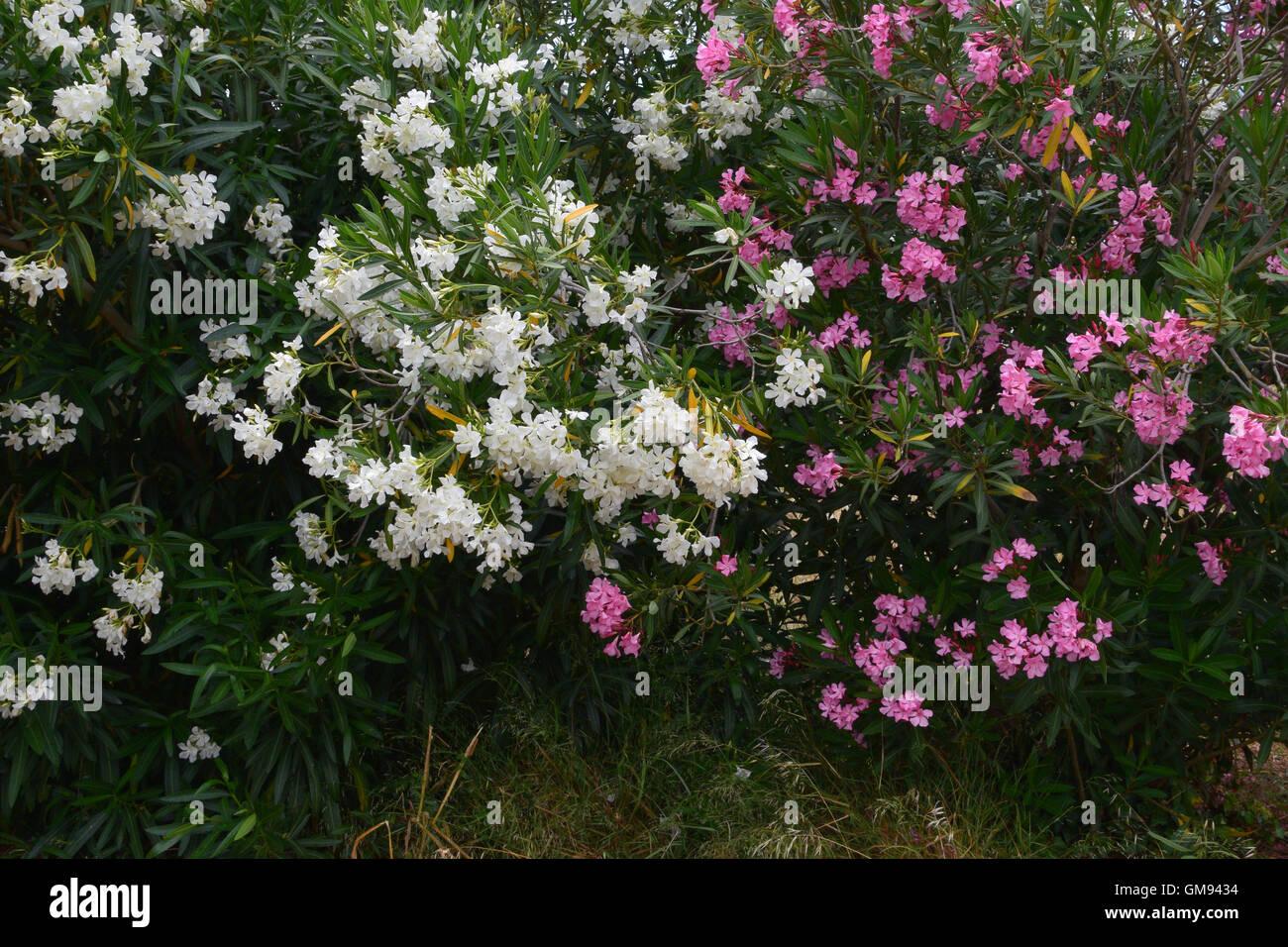 Cespugli Sempreverdi Con Fiori nerium oleander daphne arbusti con fiori rosa e bianchi