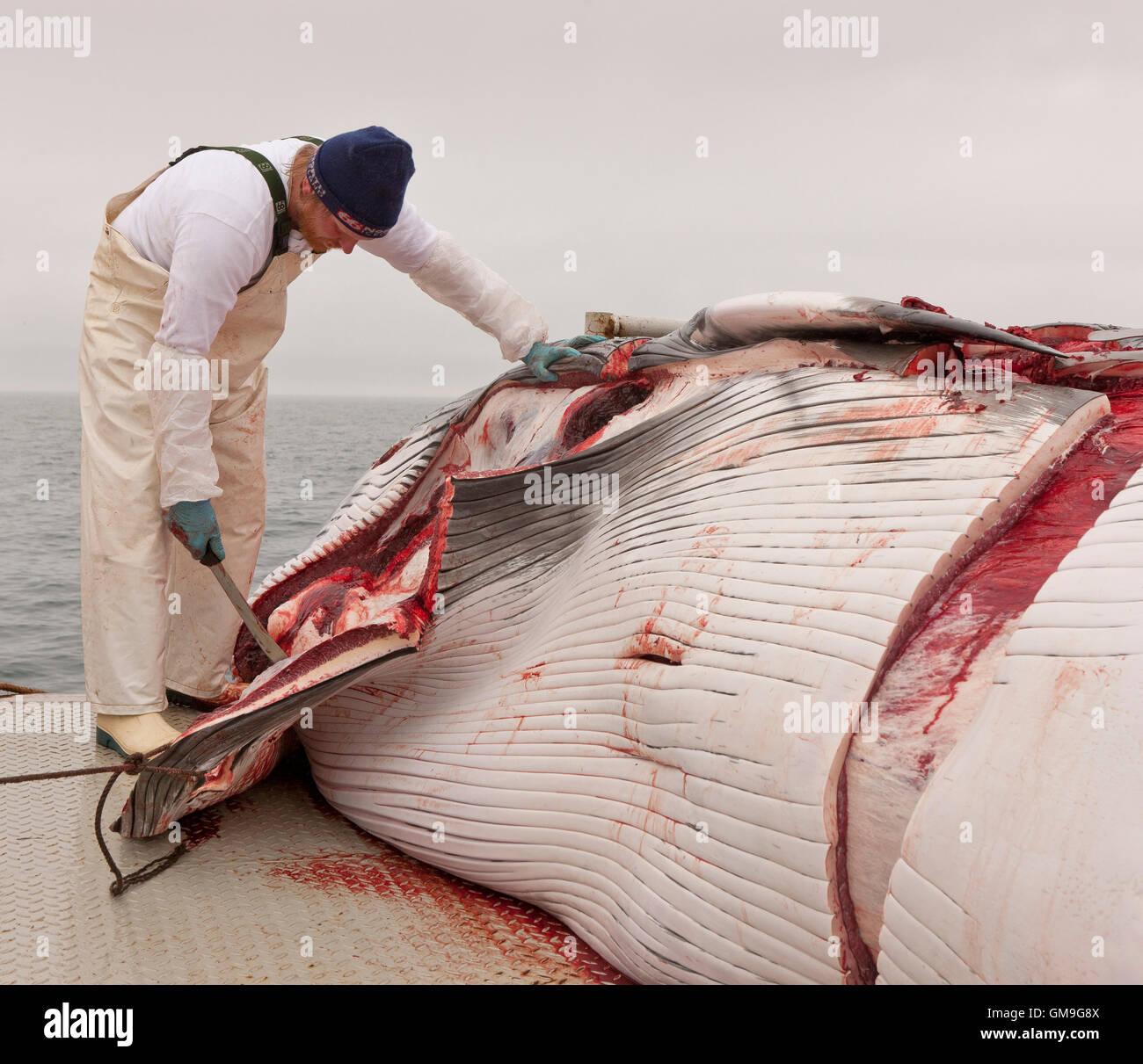 Minke Whale Hunt, fisherman scuoiatura la balena a bordo del Hrafnreydur KO-100, nave baleniera, Islanda Immagini Stock