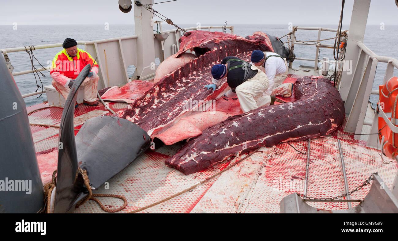 Minke Whale Hunt, pescatori scuoiatura la balena a bordo del Hrafnreydur KO-100, nave baleniera, Islanda Immagini Stock