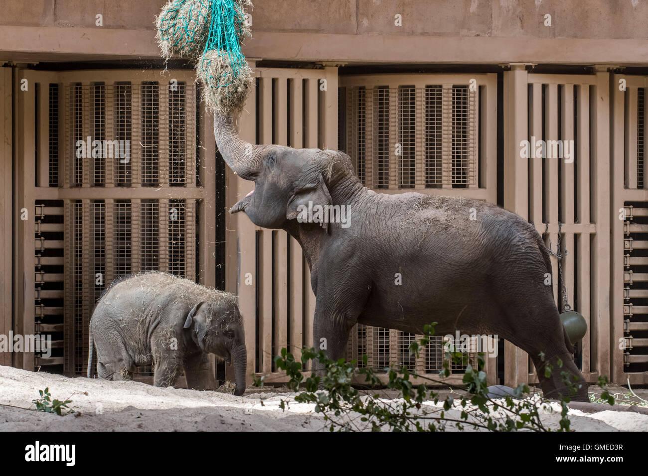 Elefante asiatico (Elephas maximus) con alimentazione bambino sul fieno nel contenitore interno in Lo Zoo Planckendael, Immagini Stock