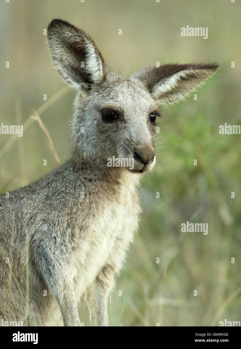 Un sbilenco ritratto di un canguro. Immagini Stock