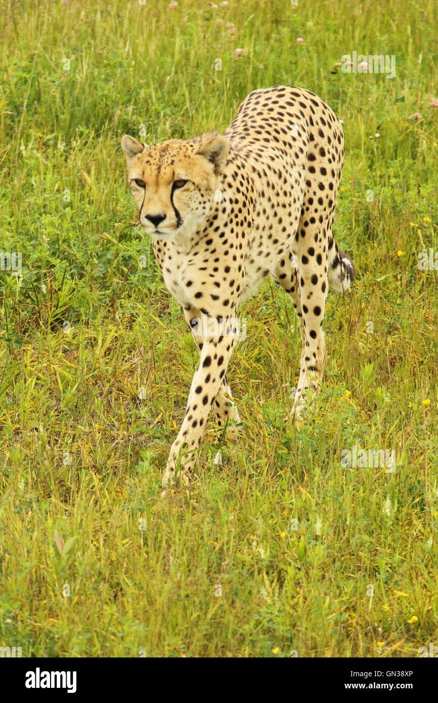 Un ghepardo rendendo un approccio lento. Immagini Stock