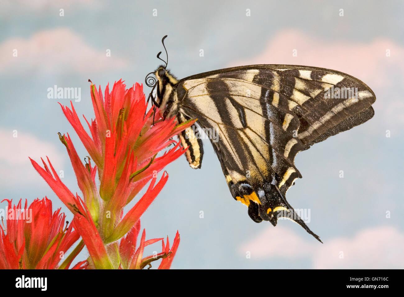 Ritratto di un Western tiger a coda di rondine, butterfly Papilio rutulus, poggiante su thbe fiore di un pennello Immagini Stock