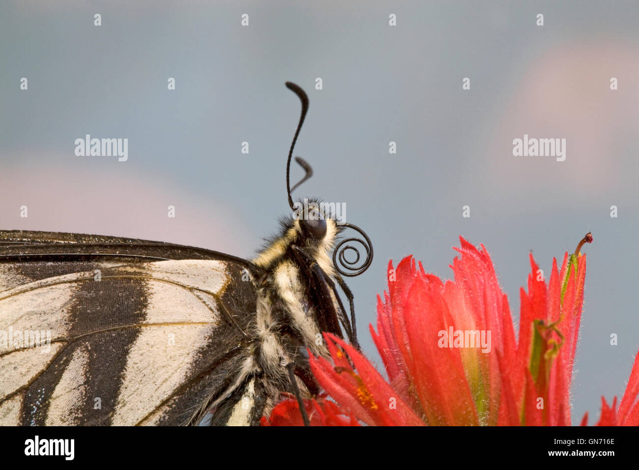 Ritratto di un pallido a coda di rondine, butterfly Papilio eurymedon, poggiante su thbe fiore di un pennello indiano. Immagini Stock