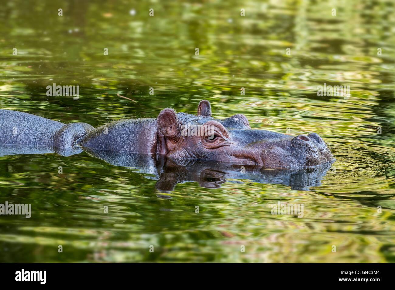 Comune (ippopotamo Hippopotamus amphibius) parzialmente sommerso in stagno a Zoo di Anversa, Belgio Immagini Stock