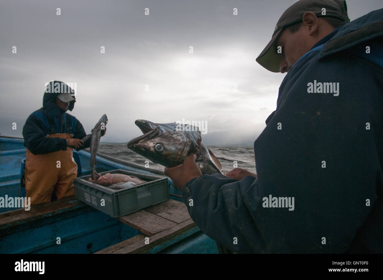 La pesca di linea per la Sierra (Scomberomorus sierra) Immagini Stock
