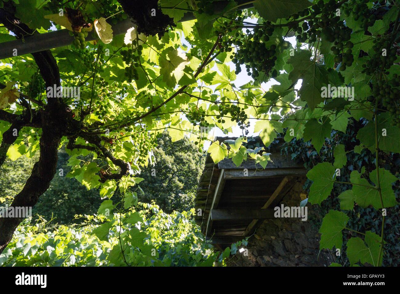 Uve di Ribera Sacra fare nel fiume Miño Paradela, provincia di Lugo, Galizia, Spagna Immagini Stock
