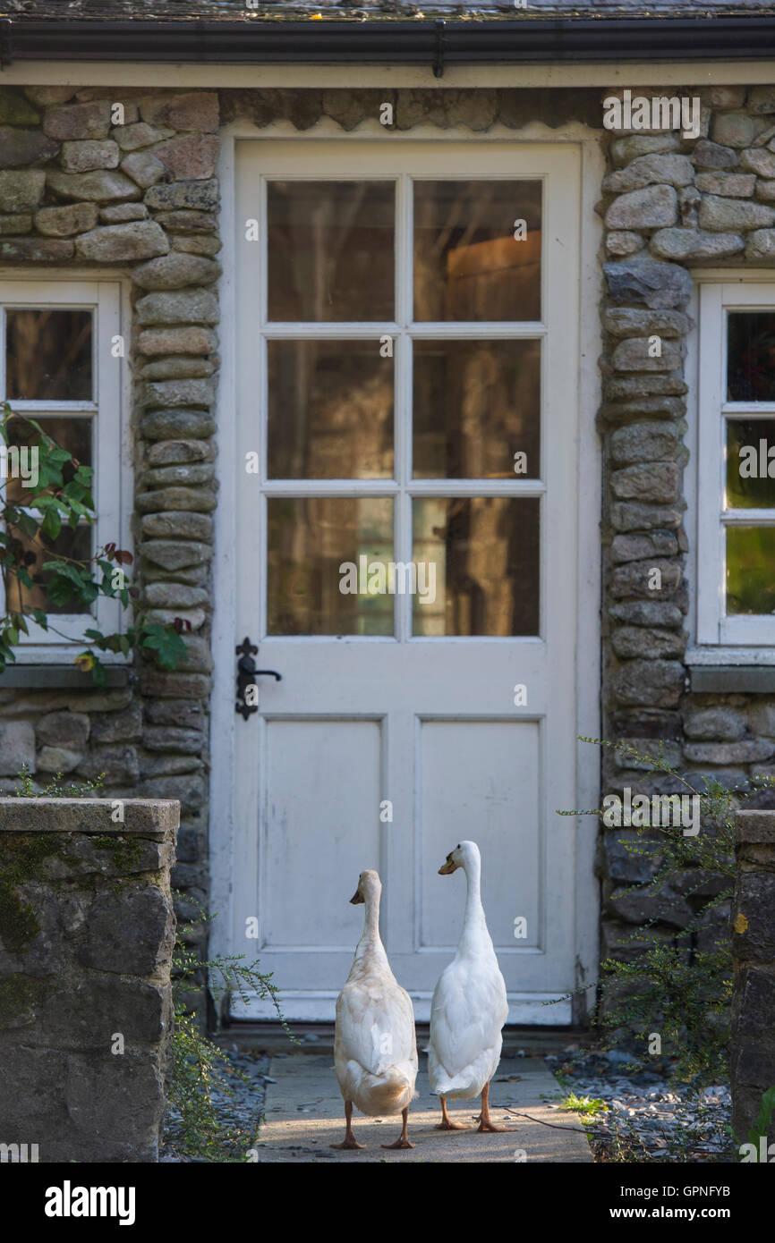 Due anatre in esecuzione al di fuori di una porta dell'agriturismo Immagini Stock