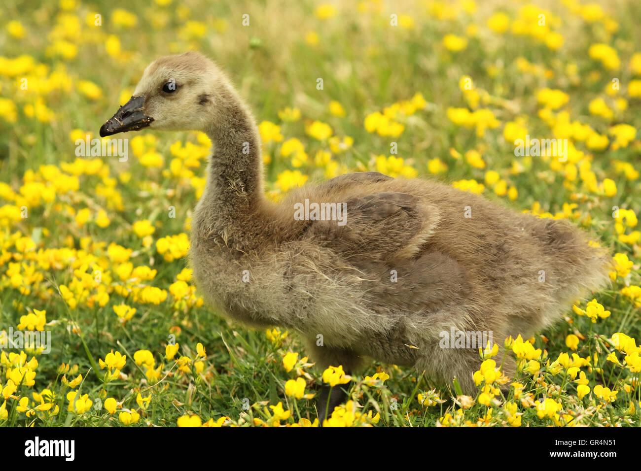 canada goose 2017 GIALLO