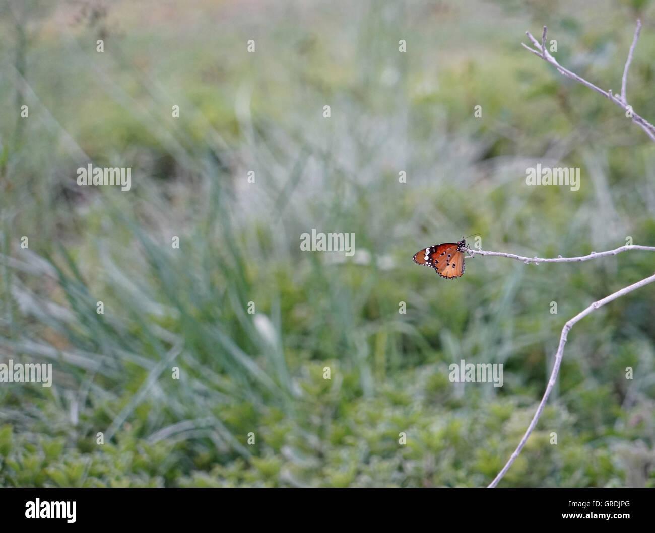 Poco di farfalle tropicali, Namibia Immagini Stock
