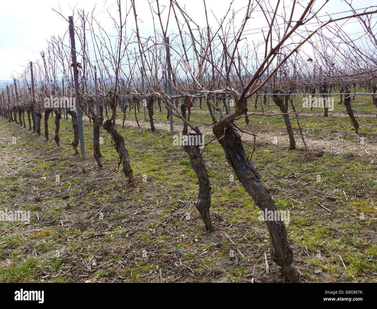 Vigneto in marzo, vitigni non ancora tagliato, Rhinehesse Immagini Stock