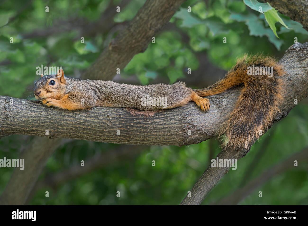 Eastern Fox Squirrel teso e in appoggio sul lembo di albero, Sciurus niger USA orientale Immagini Stock