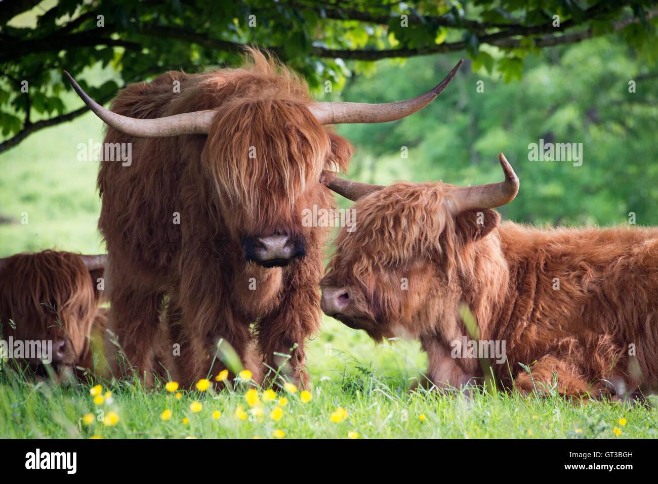 Highland pascolo del bestiame a Arnside Knott, Lancashire/Cumbria confine Immagini Stock