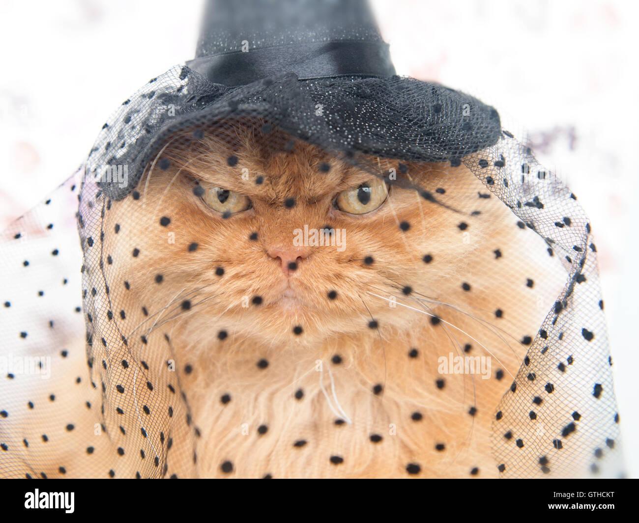 Gatto persiano con Halloween strega cat hat Immagini Stock