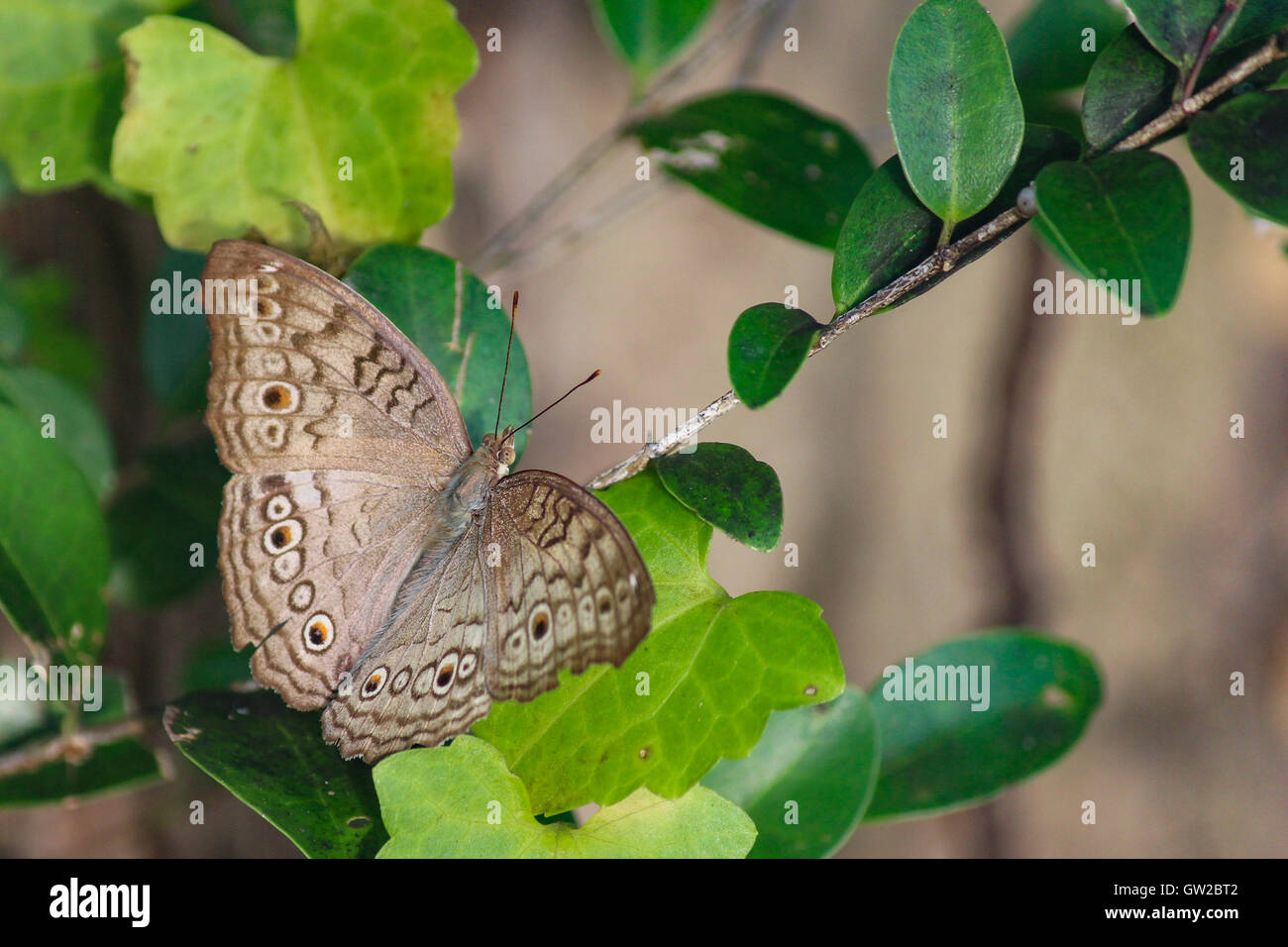 Grigio Pansy Butterfly Junonia atlites ala aperta sul verde, South Asian Butterfly Immagini Stock