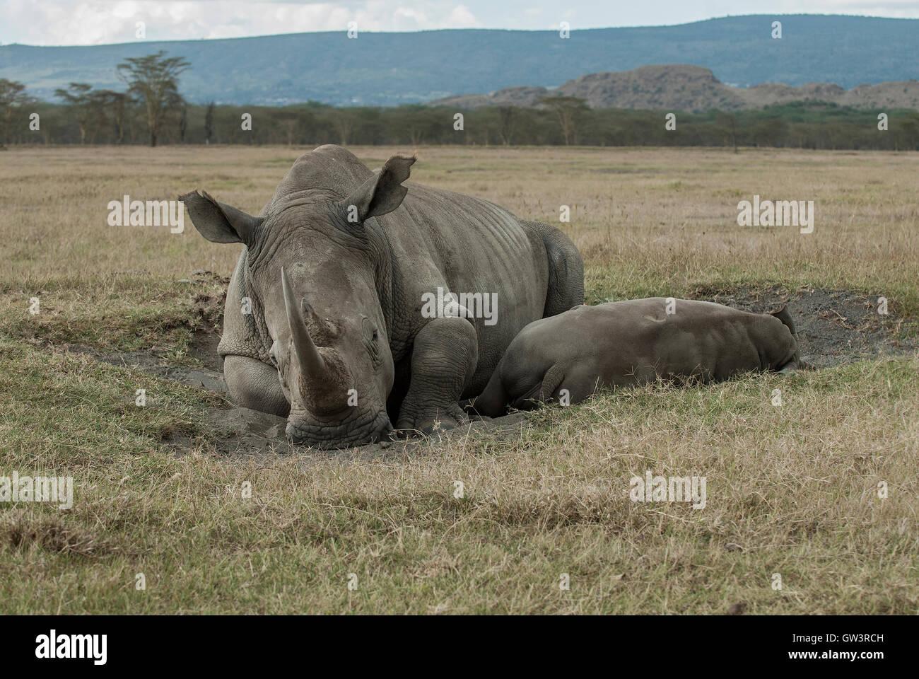 Rhino madre con bambino Immagini Stock