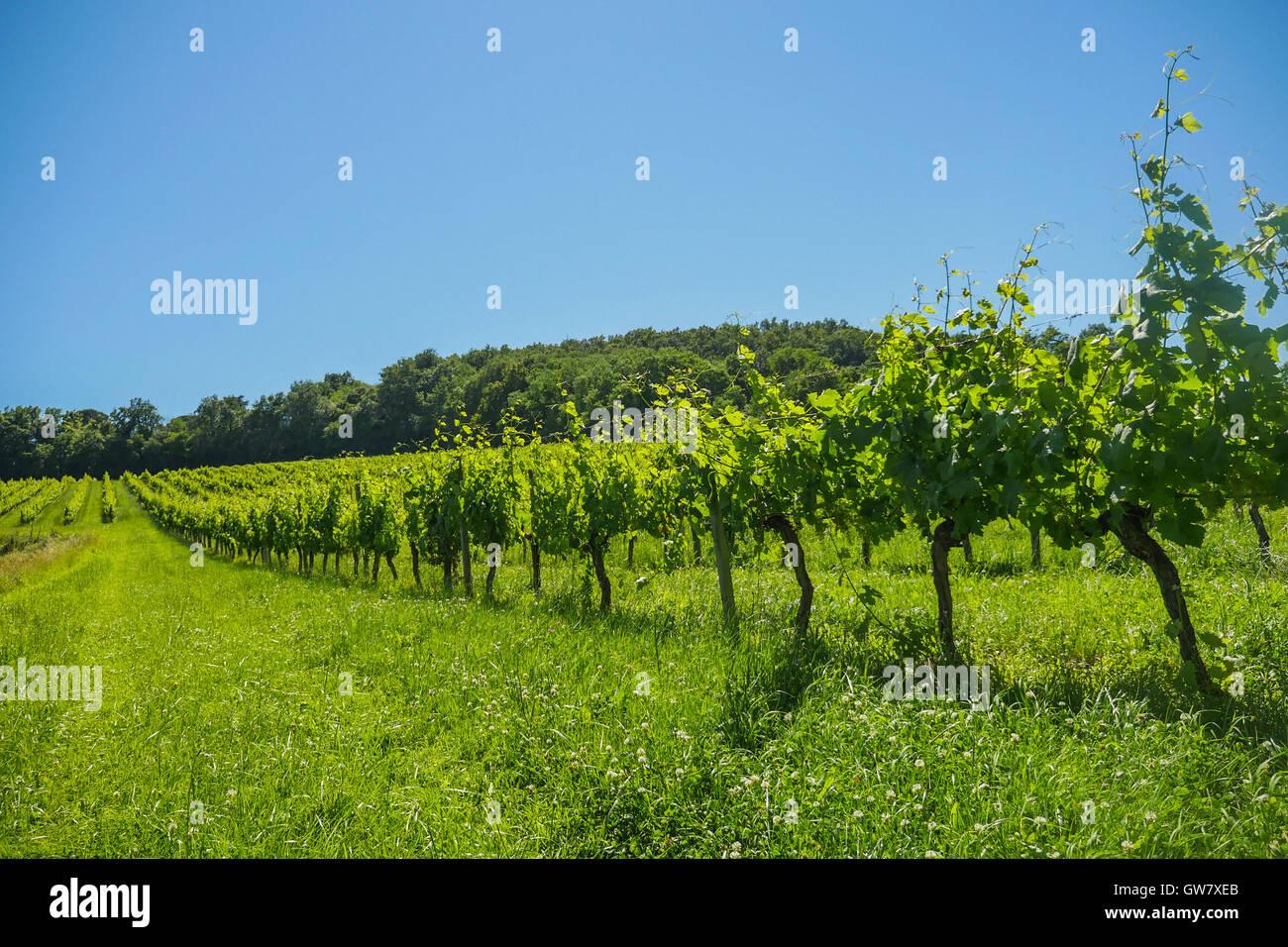 Alba sui vigneti di uve nella zona di Bordeaux, Francia, Europa Foto Stock