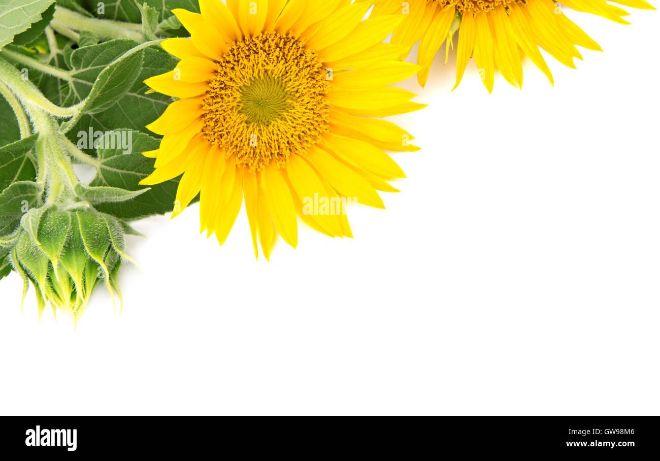 Fiori Girasoli Su Sfondo Bianco Foto Immagine Stock 118833014 Alamy