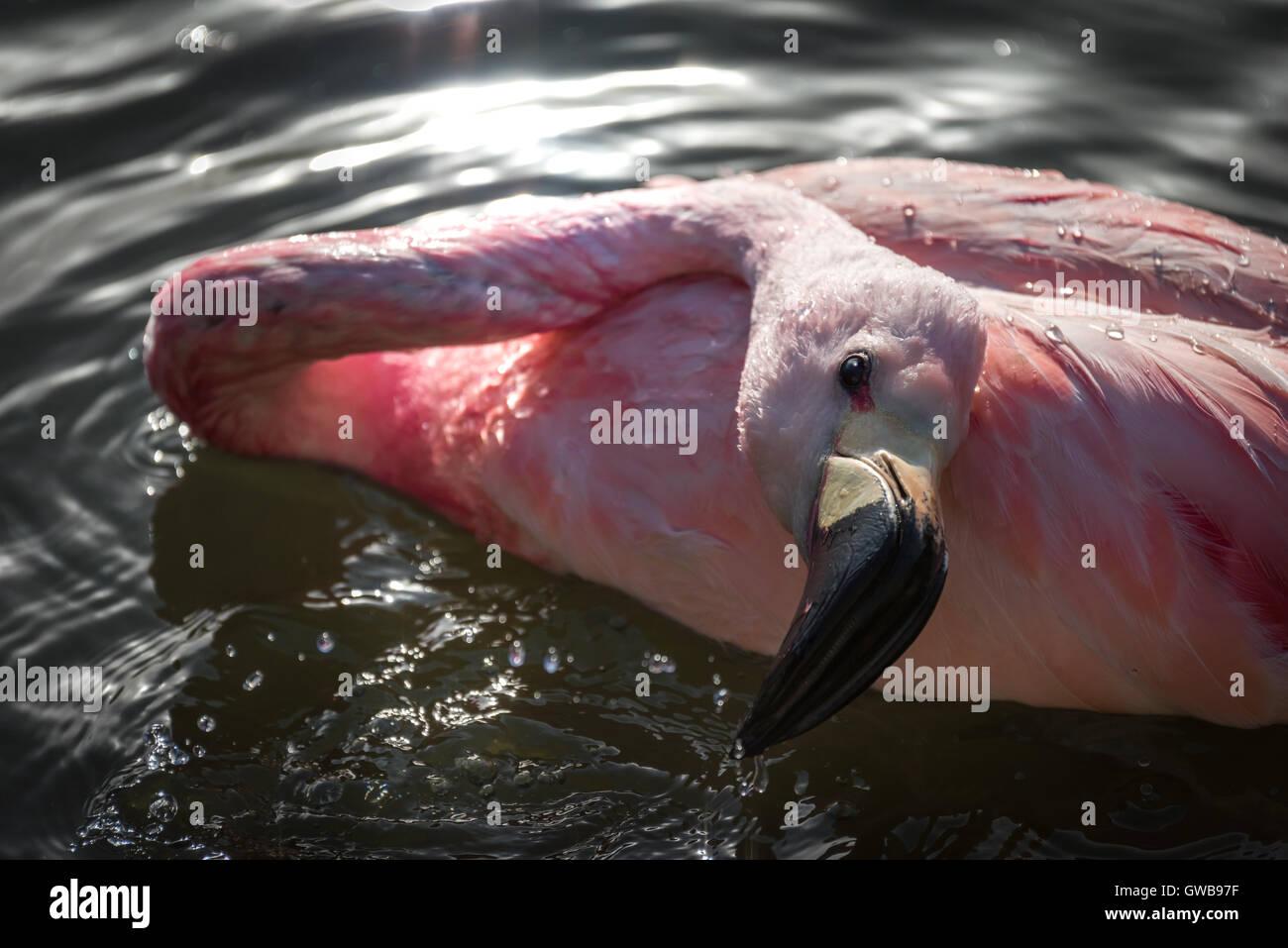 La balneazione Flamingo Immagini Stock