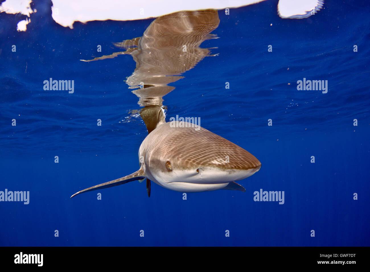 Oceanic whitetip popolazioni sono diminuite di oltre il 90% dal 1950 a causa di uno sfruttamento eccessivo. Il loro Immagini Stock