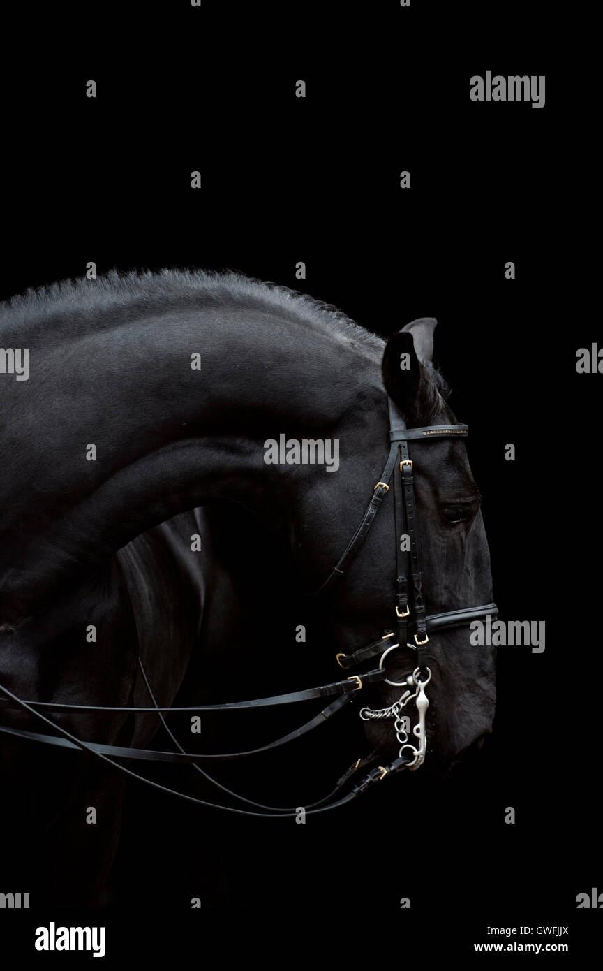 Siglavi Pakra Pantova è un stallone Kladruber, visualizzando il suo muscolare di profilo curvo, inchinandosi Immagini Stock