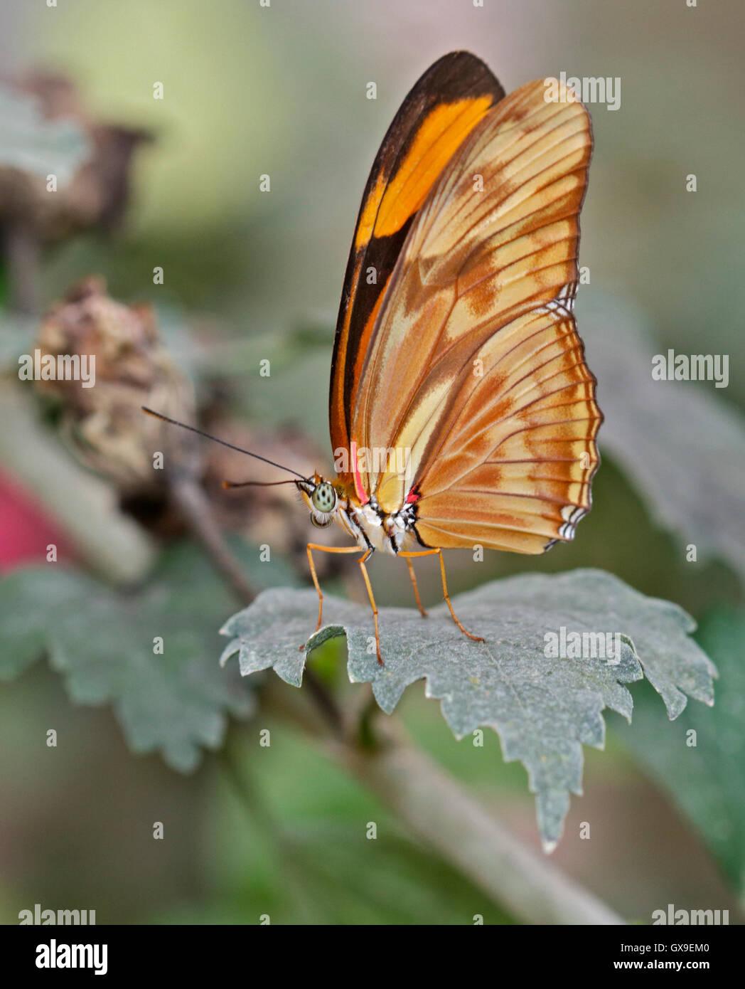 Julia Butterfly (dryas iulia) Immagini Stock