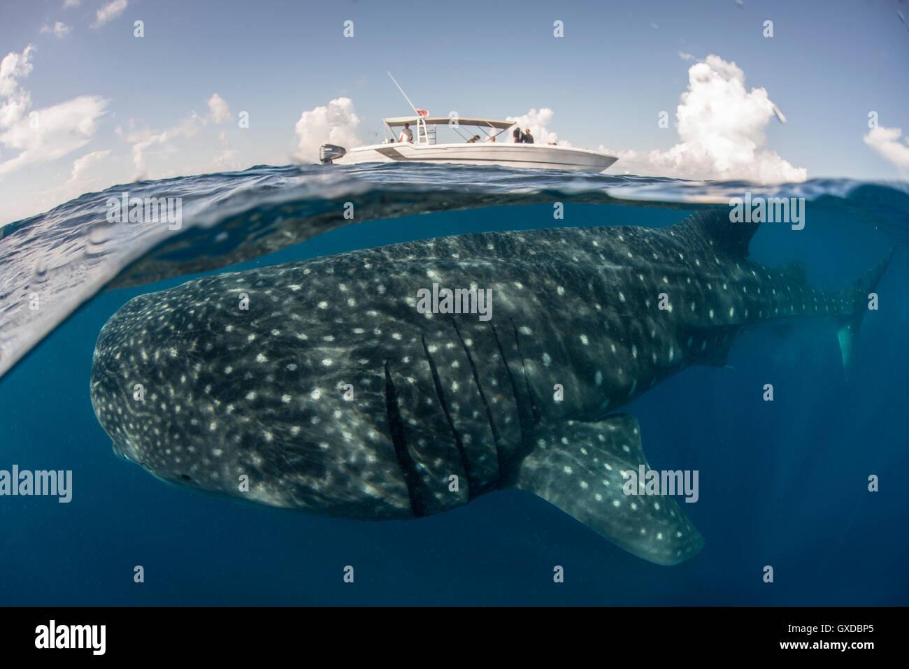 Grande squalo balena (Rhincodon typus) passando sotto la barca in corrispondenza della superficie del mare, Isla Immagini Stock