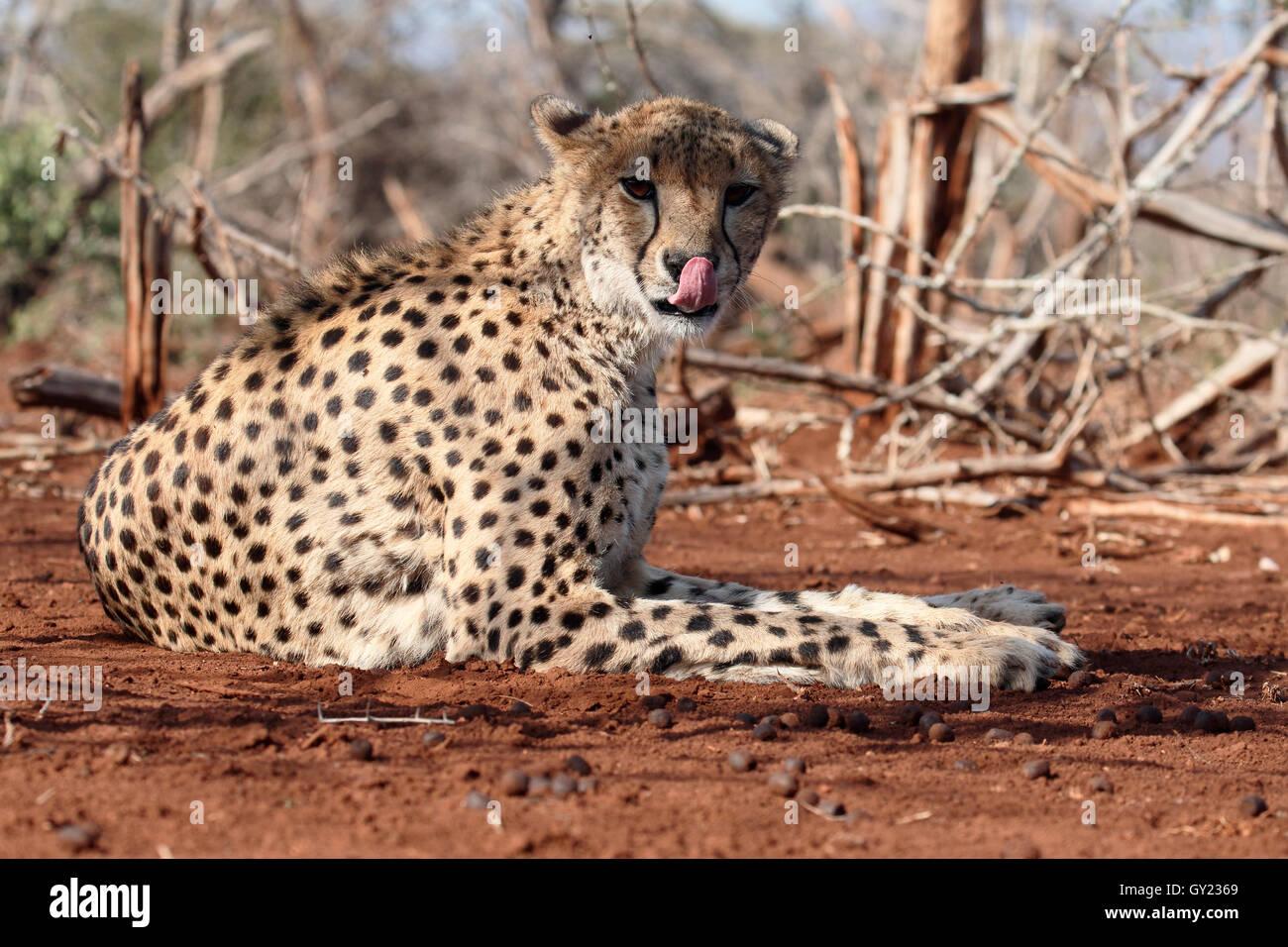 Cheetah, Acinonyx jubatus, singolo cat, Sud Africa, Agosto 2016 Immagini Stock