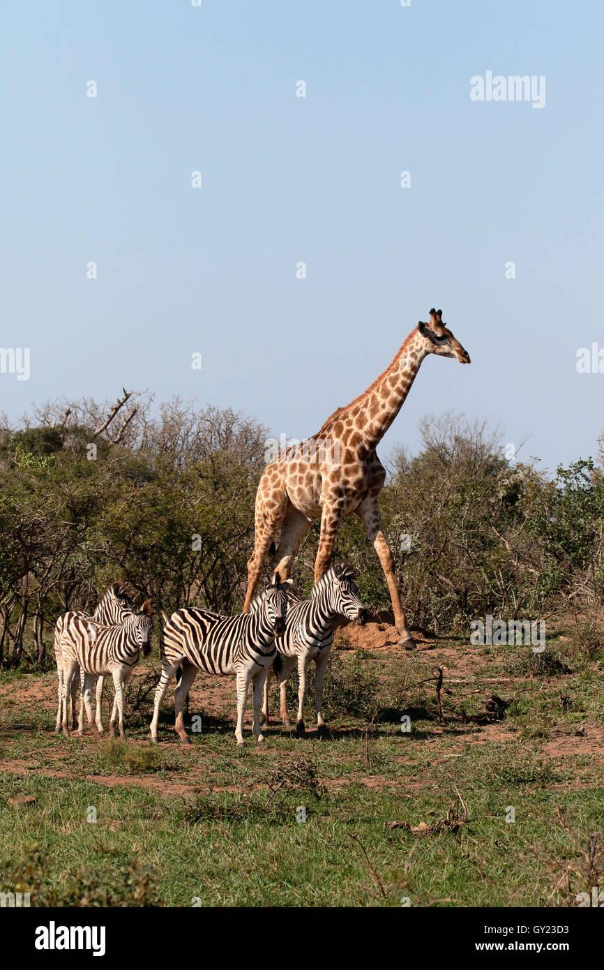 La giraffa, Giraffa camelopardalis, unico mammifero con pianure zebra, Namibia, Agosto 2016 Immagini Stock