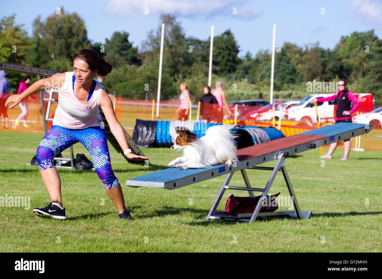 Una giovane donna competere nel cane competizioni di agilità con il suo cane papillon sul distributore rotazione Immagini Stock