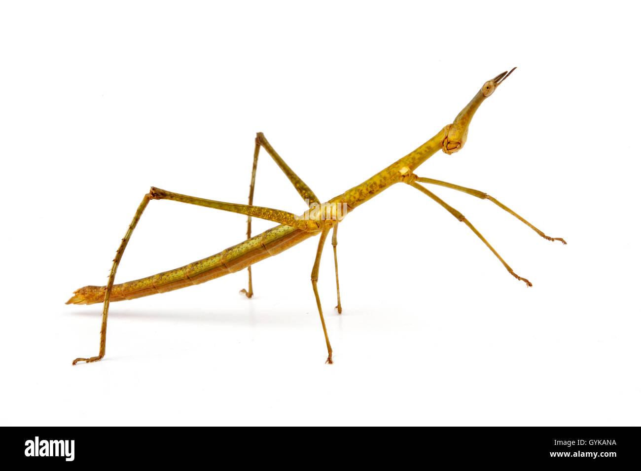 Bunte Pferdekopfheuschrecke (Proscopia luceomaculata), Freisteller   stick grasshopper, horsehead grasshopper (Proscopia Immagini Stock