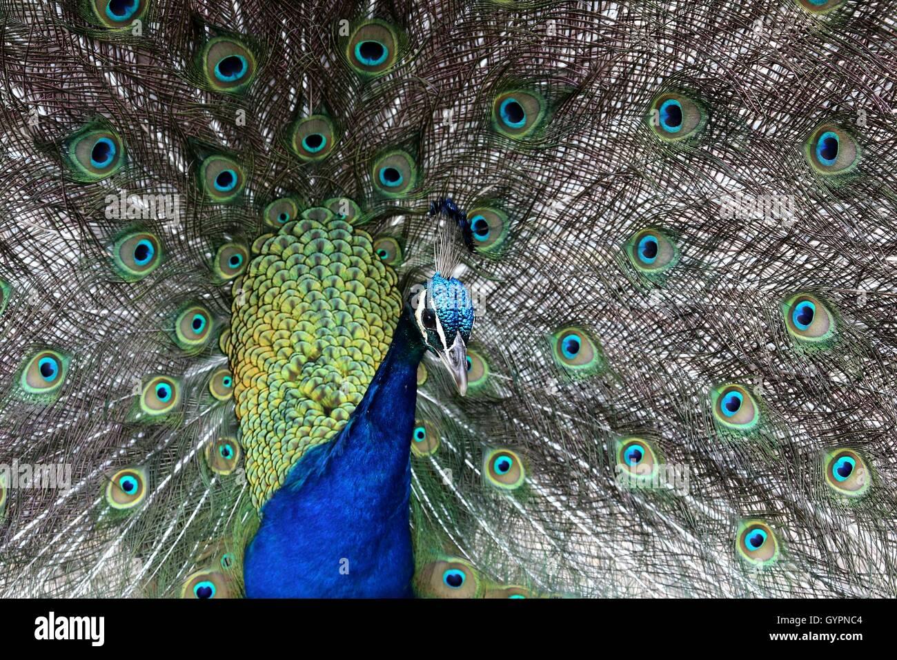 Display del pavone Immagini Stock