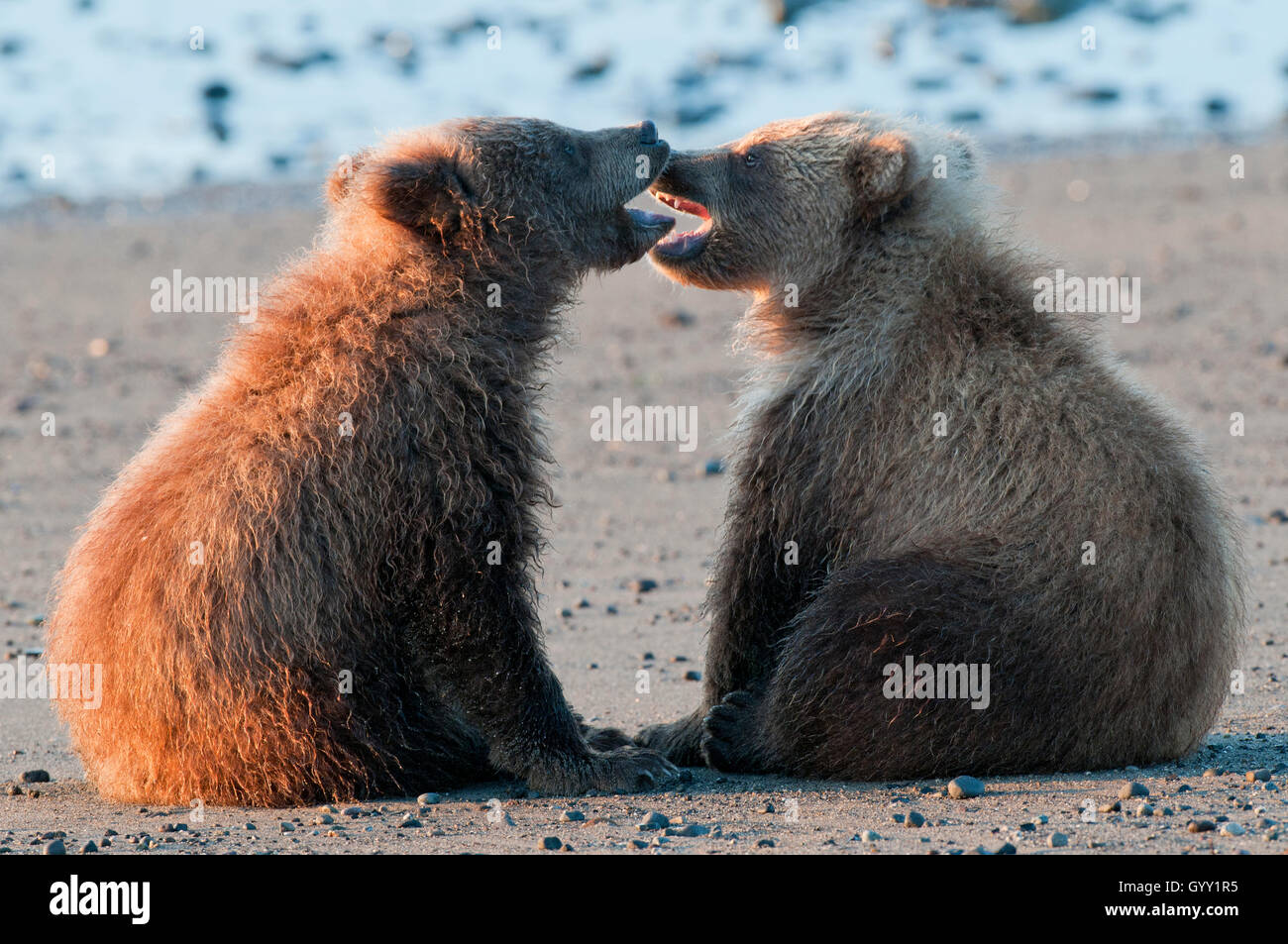Orso bruno lupetti (Ursus arctos) giocando in Il Parco Nazionale del Lago Clark, Alaska Foto Stock