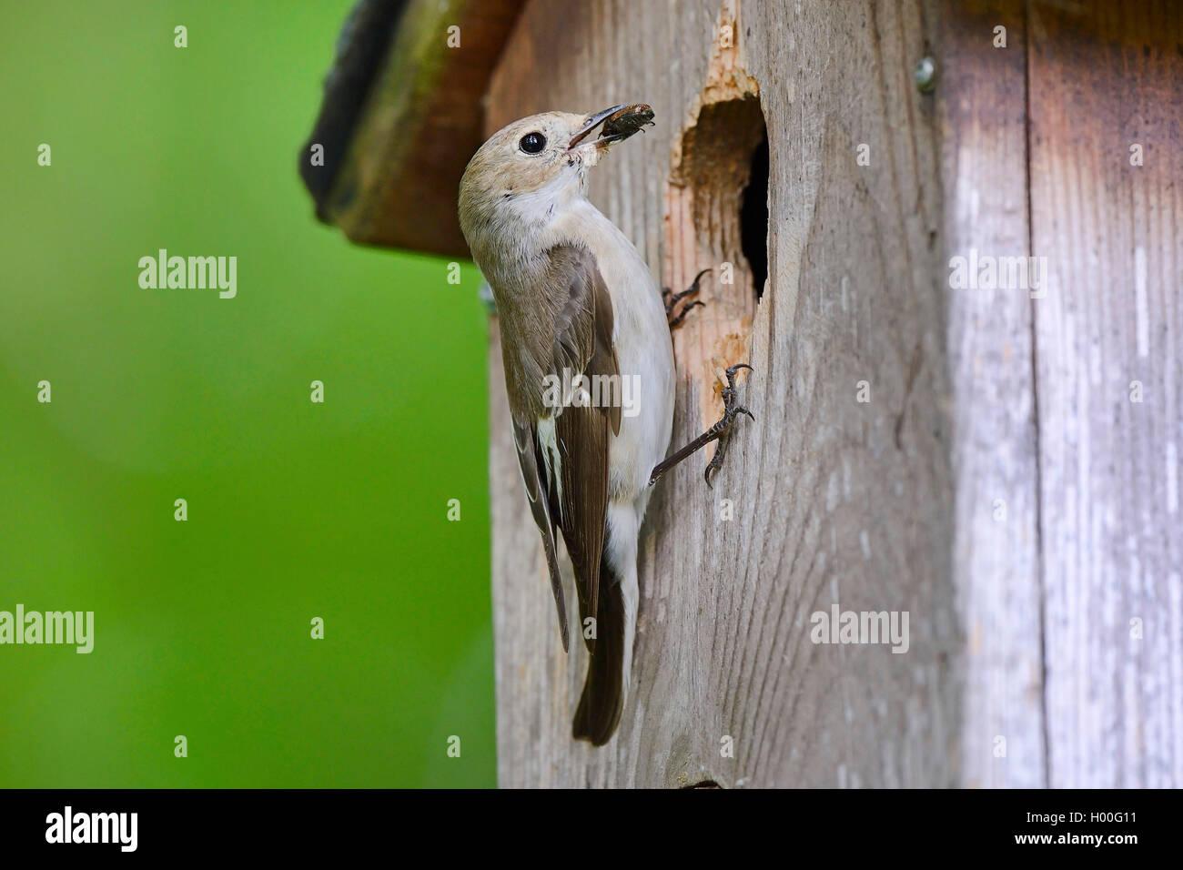 Trauerschnaepper, Trauer-Schnaepper, Trauerfliegenschnaepper, Trauer-Fliegenschnaepper (Ficedula hypoleuca), mit Immagini Stock