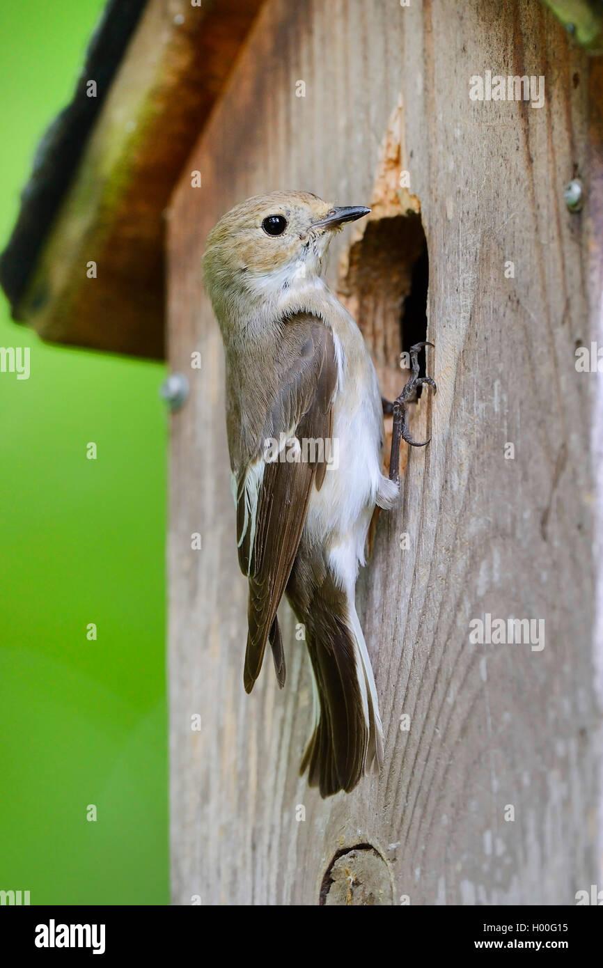 Trauerschnaepper, Trauer-Schnaepper, Trauerfliegenschnaepper, Trauer-Fliegenschnaepper (Ficedula hypoleuca), am Immagini Stock