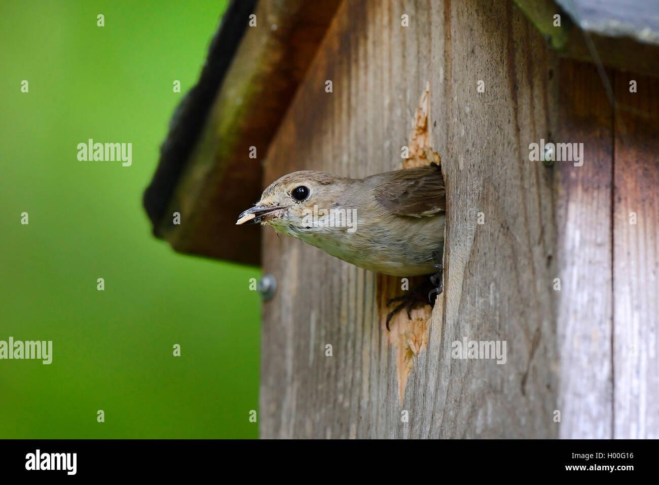 Trauerschnaepper, Trauer-Schnaepper, Trauerfliegenschnaepper, Trauer-Fliegenschnaepper (Ficedula hypoleuca), raeumt Immagini Stock