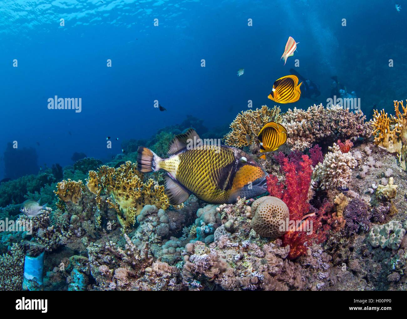 Seasacape di titan pesci balestra alimentare sulla barriera corallina con raccoon butterflyfish svolazzanti sopra. Immagini Stock