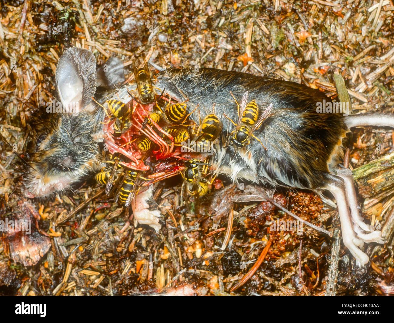 Wasp sassone (Dolichovespula saxonica, Vespula saxonica), vespe alimentazione su un topo morto, Germania Foto Stock