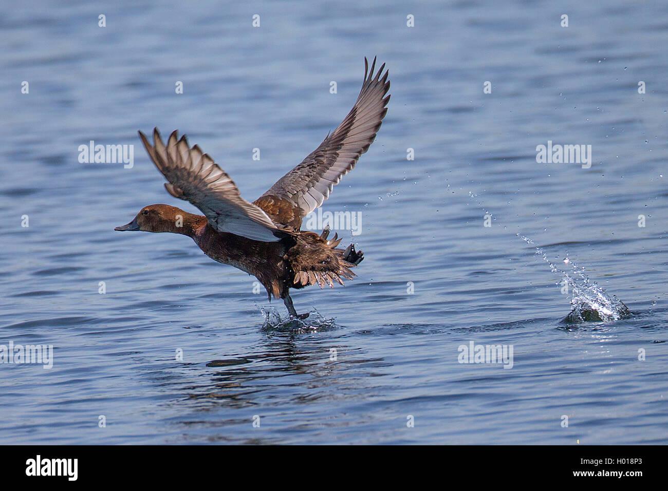 Tafelente, Tafel-Ente (Aythya ferina, Anas ferina), vom Wasser startendes Weibchen, Seitenansicht, Rumaenien, Donaudelta Immagini Stock