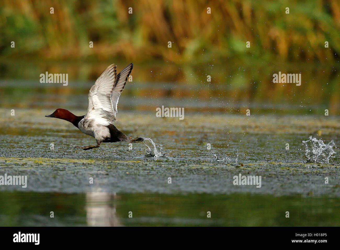 Tafelente, Tafel-Ente (Aythya ferina, Anas ferina), vom Wasser startendes Maennchen, Seitenansicht, Rumaenien, Donaudelta Immagini Stock