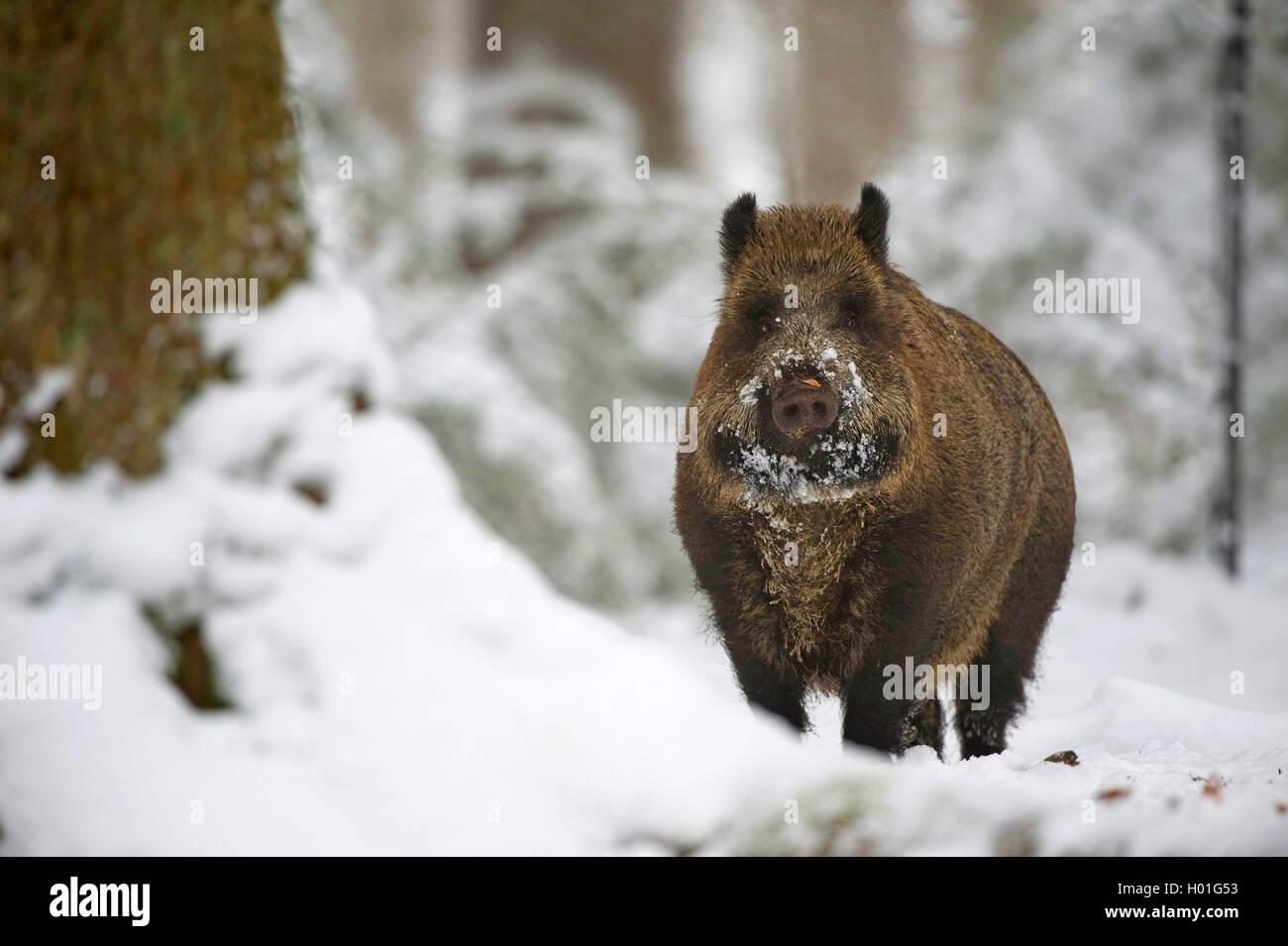 Wildschwein, Wild-Schwein, Schwarzwild (Sus scrofa), im Winter auf Nahrungssuche, Deutschland, Bayern | cinghiale, Immagini Stock