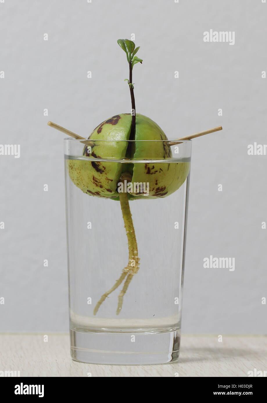 Nocciolo Di Avocado In Acqua seme di avocado con nuova germogliazione e radici in un