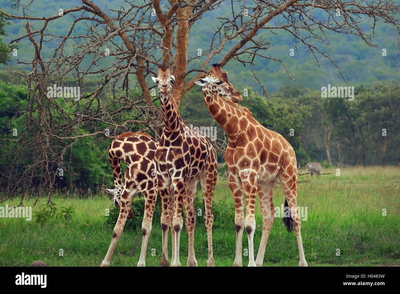 Tre le giraffe spostamento simmetrico nel lago Mburo National Park, Uganda Immagini Stock