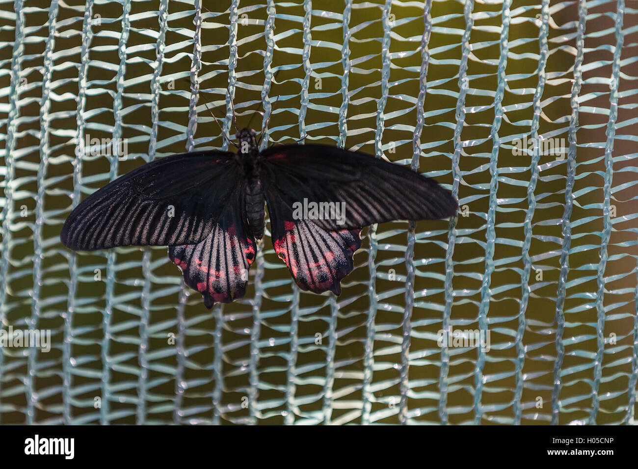 Scarlet mormone (Papilio rumanzovia), maschio Immagini Stock