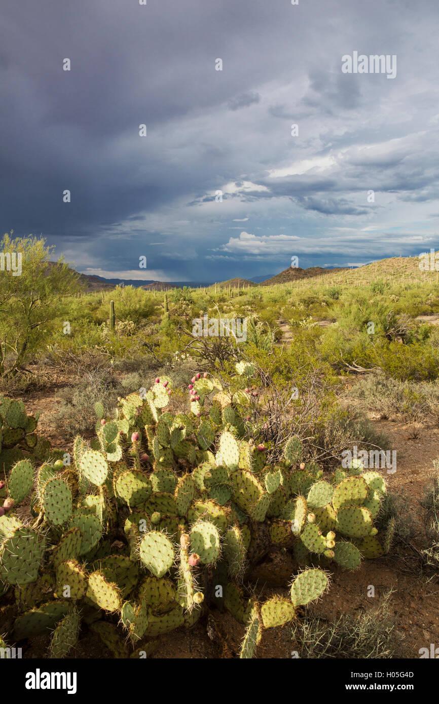 Pioggia stagionale nel Deserto di Sonora, il Parco nazionale del Saguaro, West, unità di Tucson, Arizona Immagini Stock