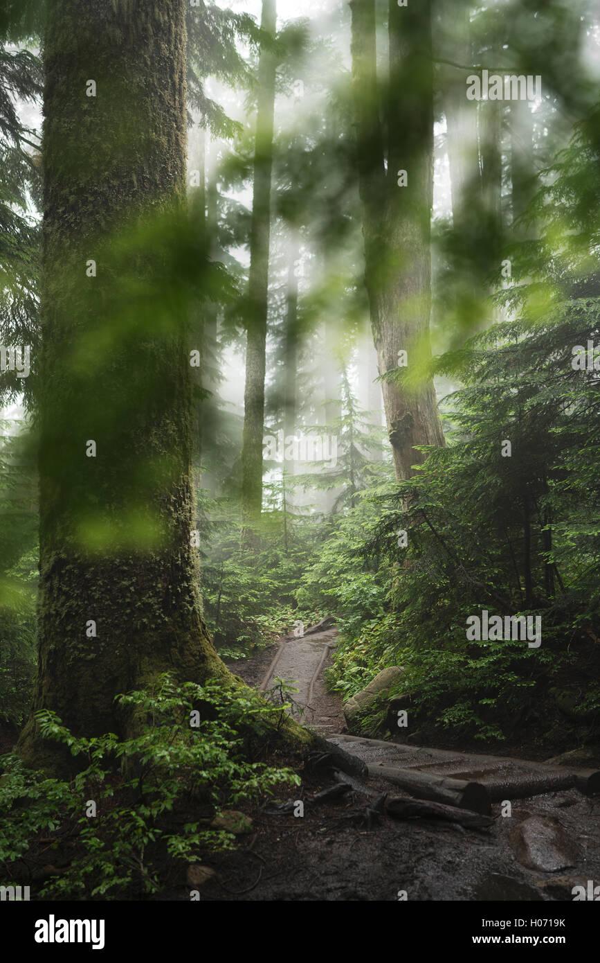 Un sentiero forestale sulla Pilchuck escursione vicino a Seattle, Washington. Immagini Stock