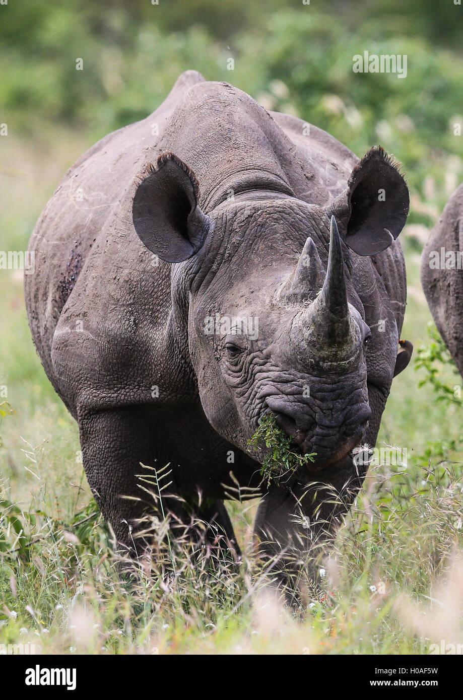 Maschio nero Rhino pascolo a Parco Nazionale Kruger Sud Africa Immagini Stock
